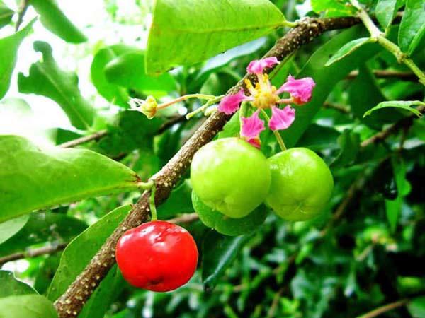 Cây sơ ri được trồng nhiều ở vùng nhiệt đới