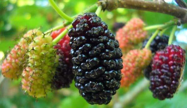 Dâu đen được trồng nhiều ở Việt Nam