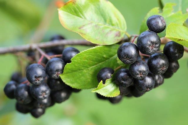 Aronia là quả có vị đắng chứa nhiều flavonoid